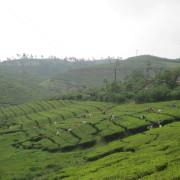 25_Teeplantagenbesichtigung-bei-Wanderung-in-der-Berglandschaft-Kumily-Südindien