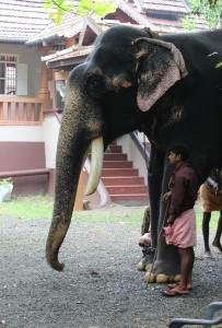 Elefanten bei BASIS-Reisen in Kerala/Indien
