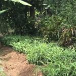 Die Ingwerpflanze